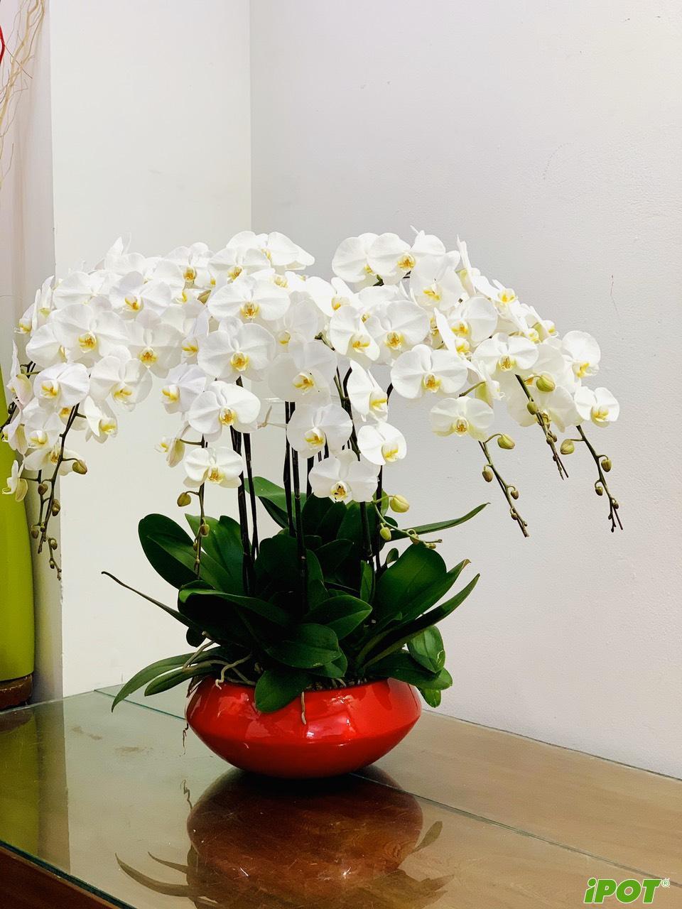 Chậu trồng lan hồ điệp tại Hà Nội