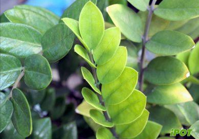 Hướng dẫn chăm sóc cây kim phát tài trồng trong chậu composite tại Hà Nội